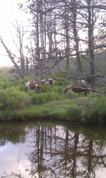 Ponies on Assateague
